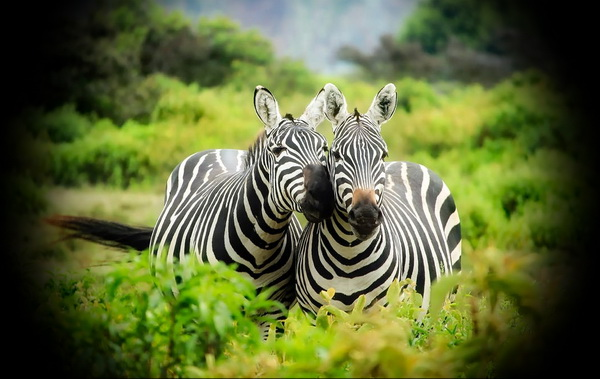 Two zebras on safari in Tanzania