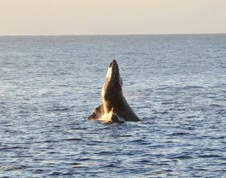 A humpback whale breaches out of the water